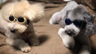 愛犬用ゴーグル購入